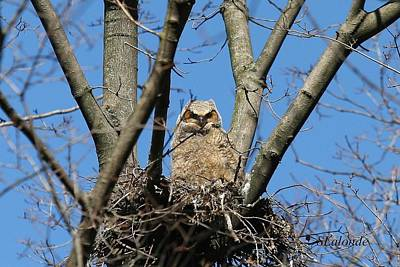 Photograph - Great Horned Owl Baby by Sarah  Lalonde