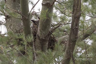 Wildlife Photograph - Great Horned Owl I I  by Cheryl Aguiar