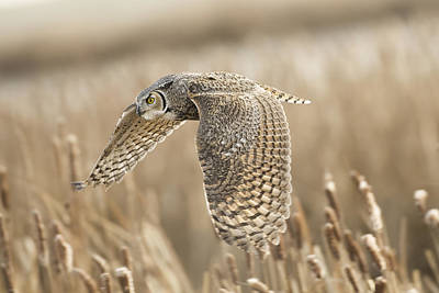 Owl Photograph - Great Horned Owl by Peter Stahl