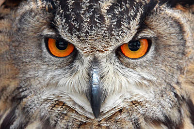 Eyes Photograph - Great Horned Owl by Pierre Leclerc Photography