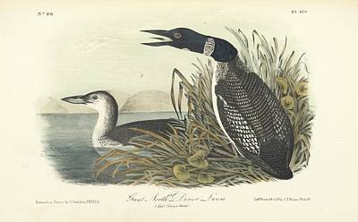 Diver Painting - Great North Diver Loon by John James Audubon