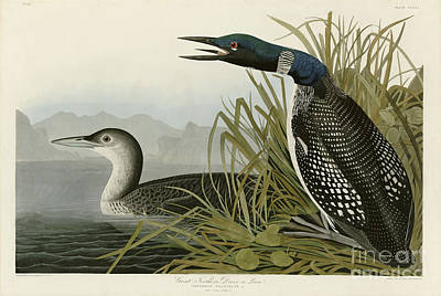 Loon Painting - Great Northern Diver Or Loon by John James