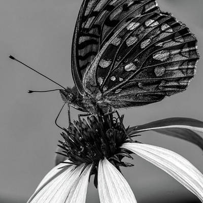 Great Spangled Fritillary Black And White Print by Bob Orsillo