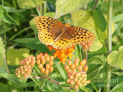 Photograph - Great Spangled Fritillary On Butterfly Weed by Robert E Alter Reflections of Infinity