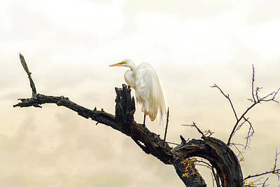Great White Egret #1 Print by Donnie Smith