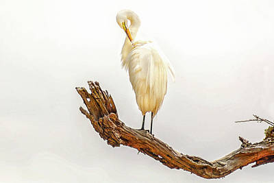 Great White Egret #3 Print by Donnie Smith
