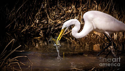 Great White Egret And Bluegill Print by Robert Frederick