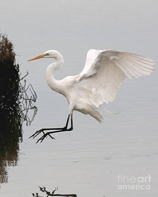 Great White Egret Landing On Water Print by Wingsdomain Art and Photography