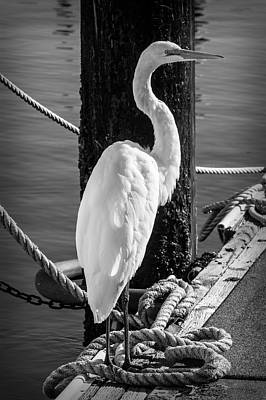Egret Photograph - Great White Heron In Black And White by Garry Gay
