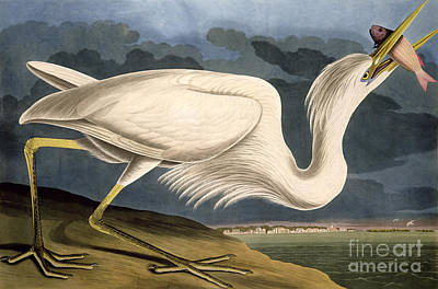 White Drawing - Great White Heron by John James Audubon