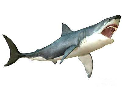 Great White Shark Attack Print by Corey Ford