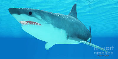 Great White Shark Close-up Print by Corey Ford