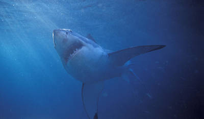 Sharks Photograph - Great White Shark With Light Rays by James Forte