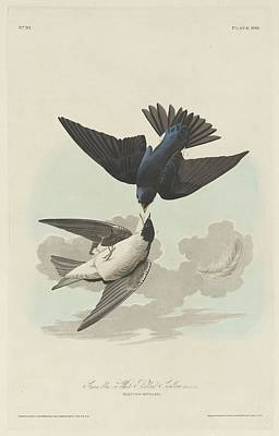 Swallow Drawing - Green-blue Or White-bellied Swallow by John James Audubon