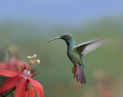 Passionflower Photograph - Green Breasted Mango Hummingbird Male by Tim Fitzharris