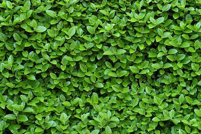 Garden Photograph - Green Hedge by Frank Tschakert