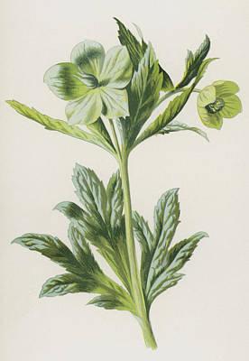 Green Hellebore Print by Frederick Edward Hulme