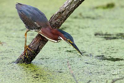 Photograph - Green Heron Fishing by Rick Mann