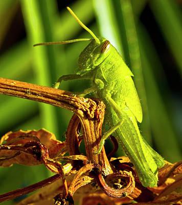 Green Hopper Original by Arthur Bohlmann