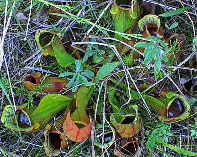 Northern Pitcher Plant Print by Ann Horn