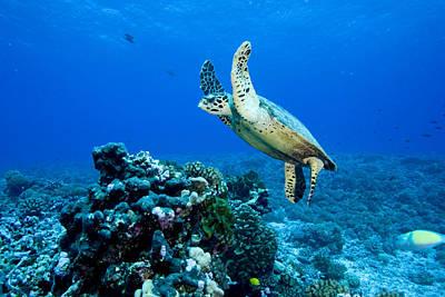 Green Sea Turtle Chelonia Mydas Print by Tim Laman
