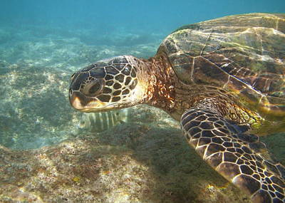 Ocean Photograph - Green Sea Turtle by Michael Peychich