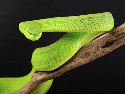 Green Tree Pit Viper (trimeresurus) Print by Peter Schoen