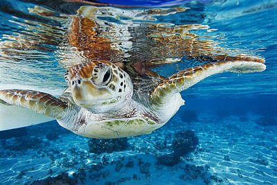 Moorea Photograph - Green Turtle by Alexis Rosenfeld