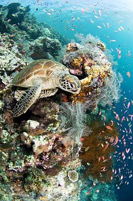 Small Turtle Photograph - Green Turtle by Matthew Oldfield
