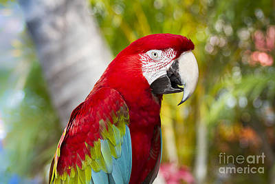 Green Winged Macaw Ara Chloropterus Print by Sharon Mau