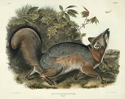 From Nature Painting - Grey Fox by John James Audubon