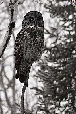 Owl Photograph - Grey Ghost Of The North by Larry Ricker
