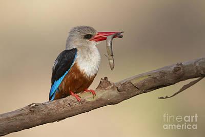 Kingfisher Photograph - Grey-headed Kingfisher by Bernd Rohrschneider