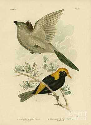 Birds In Flight Drawing - Grey Struthidea Or Apostlebird by Gracius Broinowski