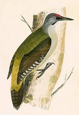 Woodpecker Painting - Grey Woodpecker by English School