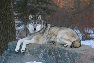 Wolf Photograph - Grizzer Intelligence Personified by Gerry Sibell