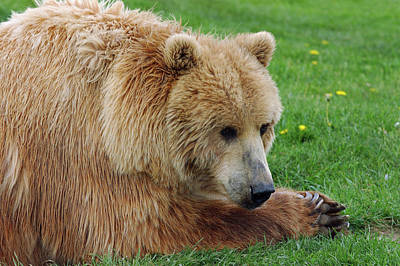 Animals Photograph - Grizzly Bear Lying In A Field Of Grass by Reimar Gaertner