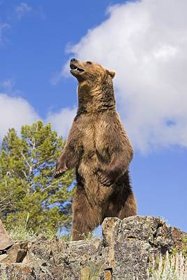 Photograph - Grizzly Bear Standing On A Ridge by John Pitcher