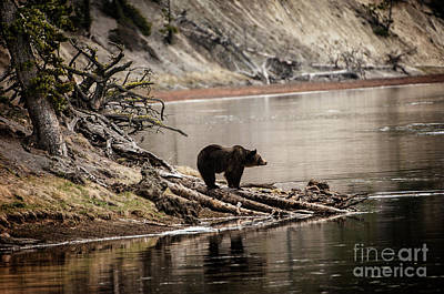 Grizzly In Yellowstone Print by Wildlife Fine Art
