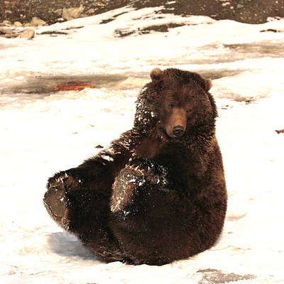 Photograph - Grizzly Play Time by Crystal Magee