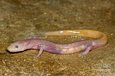 Grotto Salamander Print by Dante Fenolio