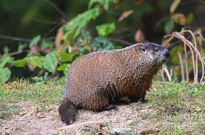 Groundhog Photograph - Groundhog  0590 by Jack Schultz