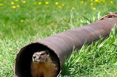 Groundhog Photograph - Groundhog In A Pipe by Will Borden