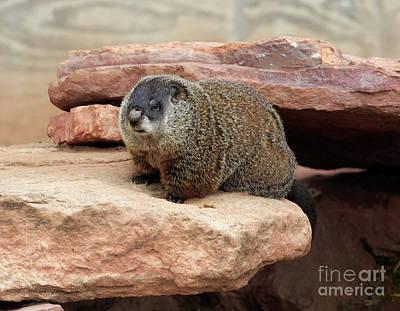 Groundhog Photograph - Groundhog by Louise Heusinkveld
