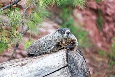 Groundhog Photograph - Groundhog On A Log by Jess Kraft