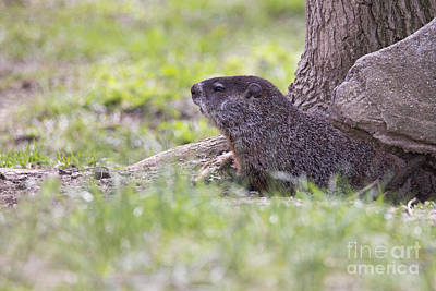 Groundhog Photograph - Groundhog by Twenty Two North Photography
