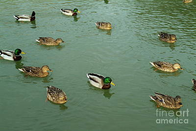 Group Of Male And Female Ducks On The Water Print by Sami Sarkis