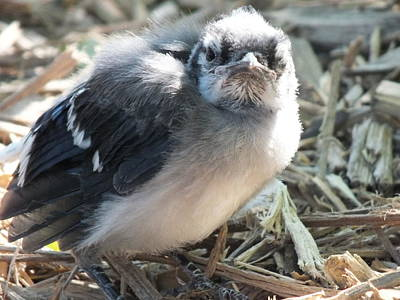 Baby Bluejay Photograph - Grumpy Baby Blue Jay by Sheli Kesteloot