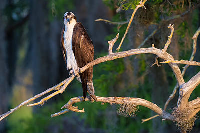 Sky Photograph - Grumpy Osprey Not Ready For Its Picture by Andres Leon