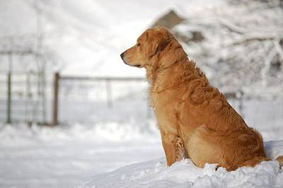 Dog In Snow Photograph - Guard by Laura Mountainspring